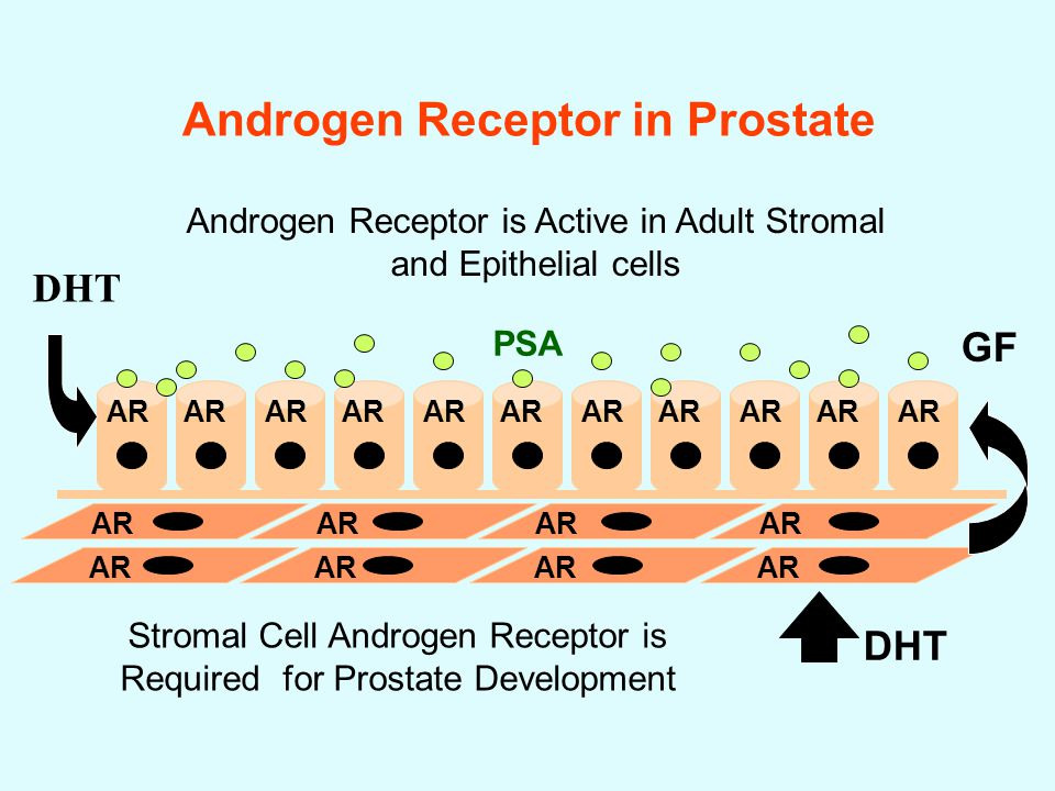 Androgen Receptor in Prostate GF DHT Stromal Cell Androgen Receptor is Required for Prostate Development Androgen Receptor is Active in Adult Stromal and Epithelial cells AR PSA DHT