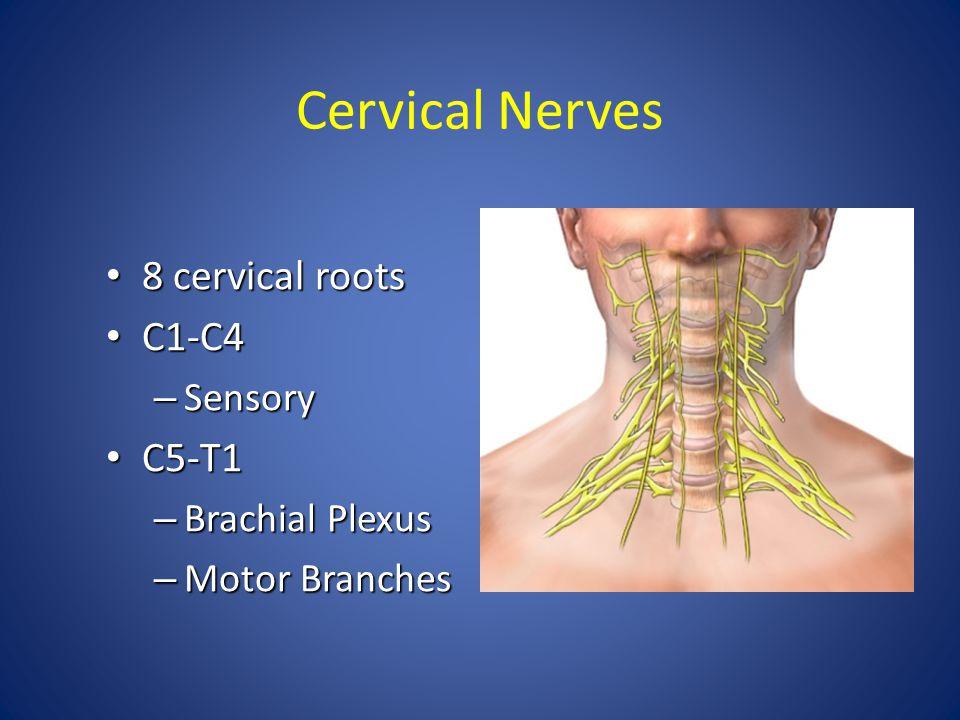 Cervical Nerves 8 cervical roots 8 cervical roots C1-C4 C1-C4 – Sensory C5-T1 C5-T1 – Brachial Plexus – Motor Branches