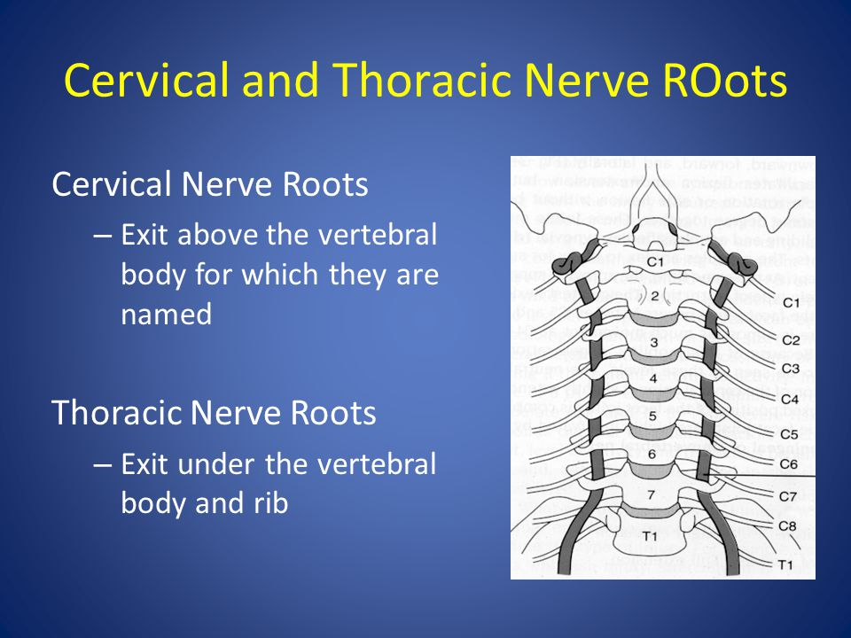 Cervical and Thoracic Nerve ROots Cervical Nerve Roots – Exit above the vertebral body for which they are named Thoracic Nerve Roots – Exit under the