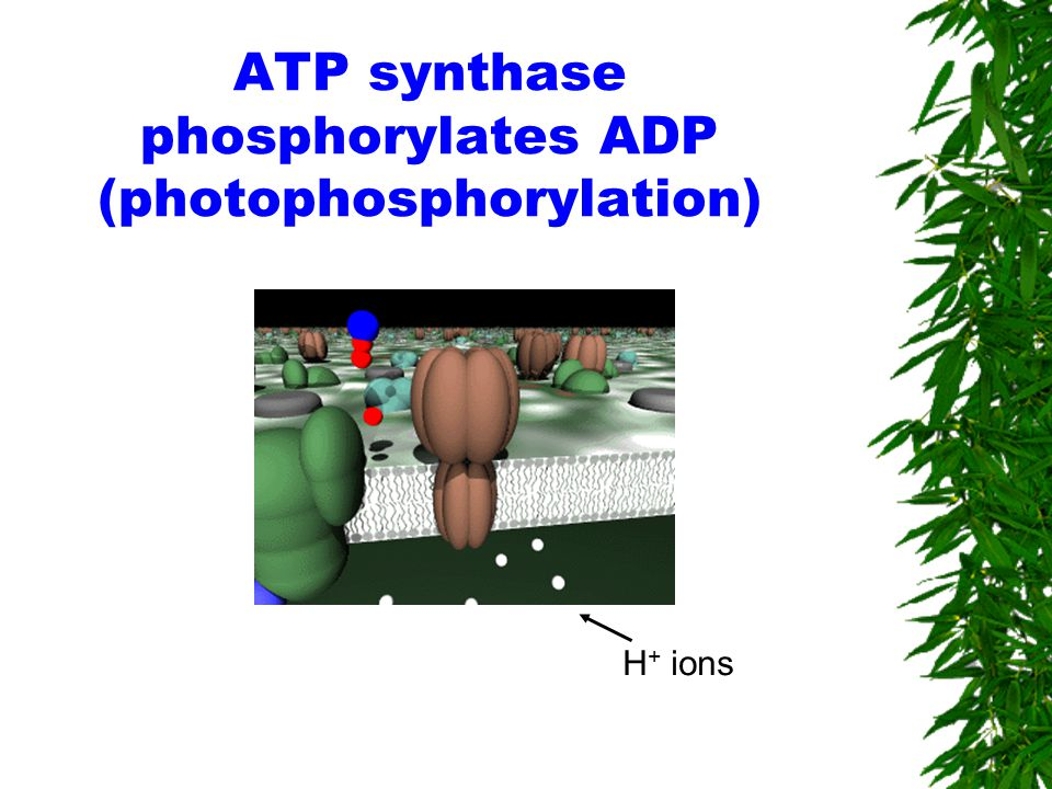 ATP synthase phosphorylates ADP (photophosphorylation) H + ions