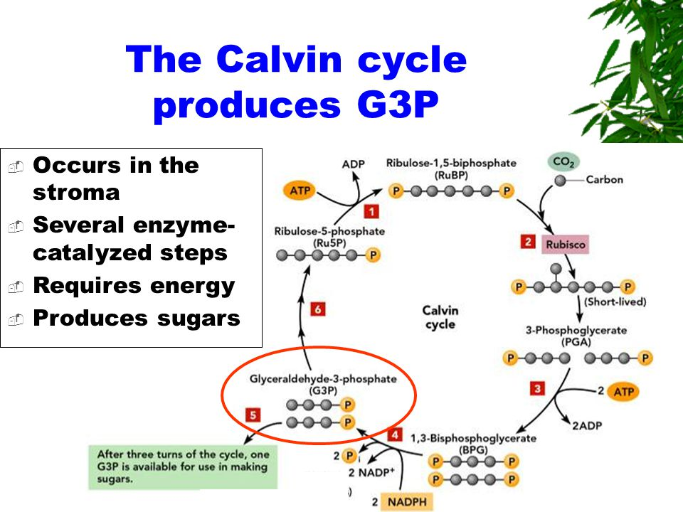The Calvin cycle produces G3P  Occurs in the stroma  Several enzyme- catalyzed steps  Requires energy  Produces sugars