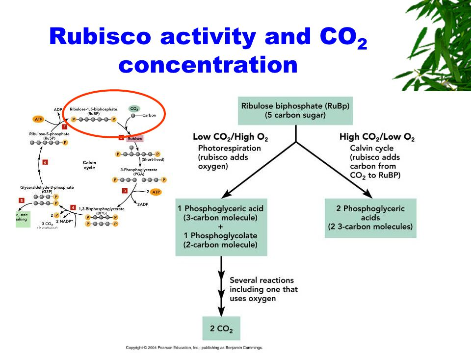 Rubisco activity and CO 2 concentration