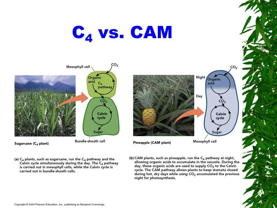 C 4 vs. CAM