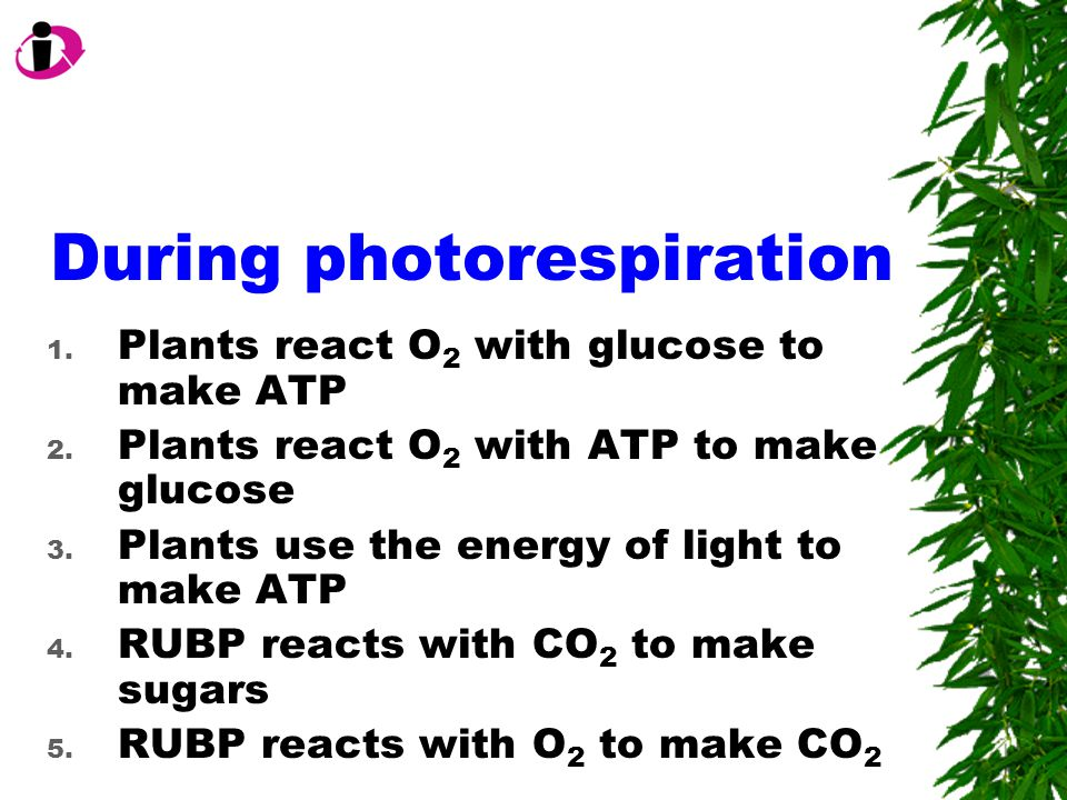 During photorespiration 1. Plants react O 2 with glucose to make ATP 2.