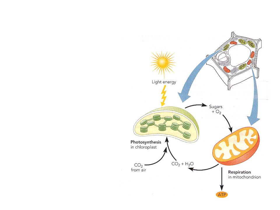 Photosynthesis Light Compensation and Saturation Points