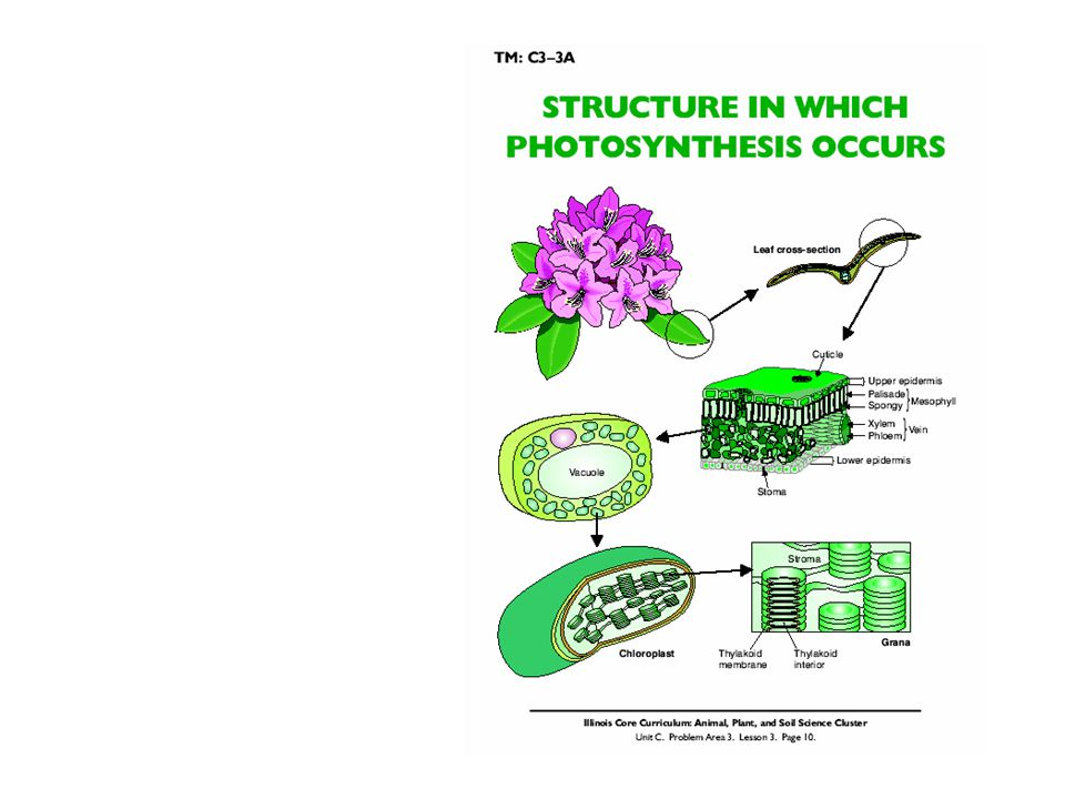 Quiz Questions Give the basic photosynthesis reaction and where does it take place.