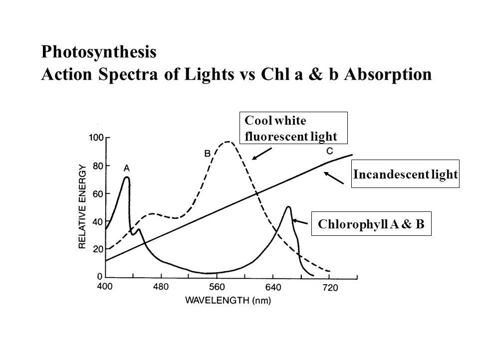 Photosynthesis Light Compensation and Saturation Points Net Ps (mgCO 2 /cm 2 /h) 2000 4000 6000 Light Intensity (fc) C.P.