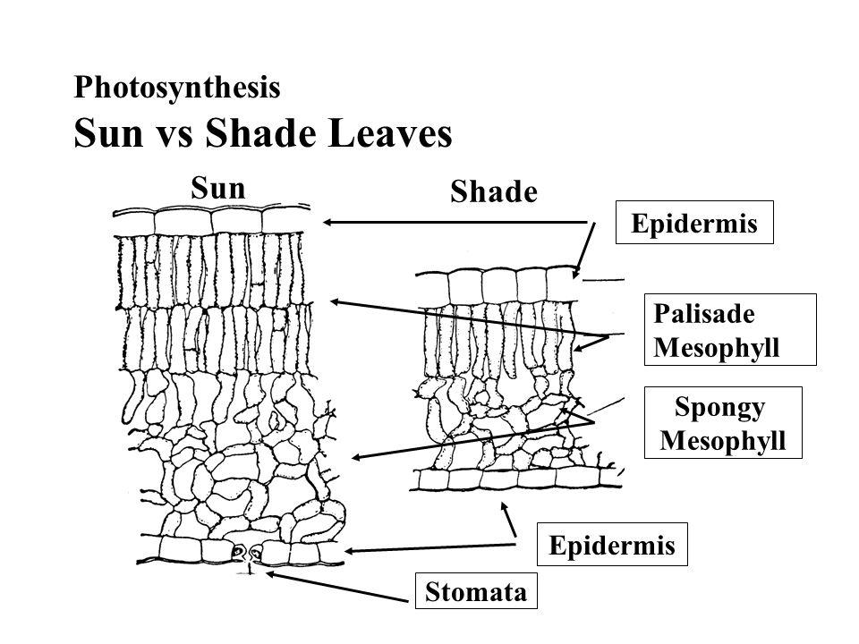 Photosynthesis Sun vs Shade Leaves Epidermis Palisade Mesophyll Spongy Mesophyll Epidermis Stomata Sun Shade