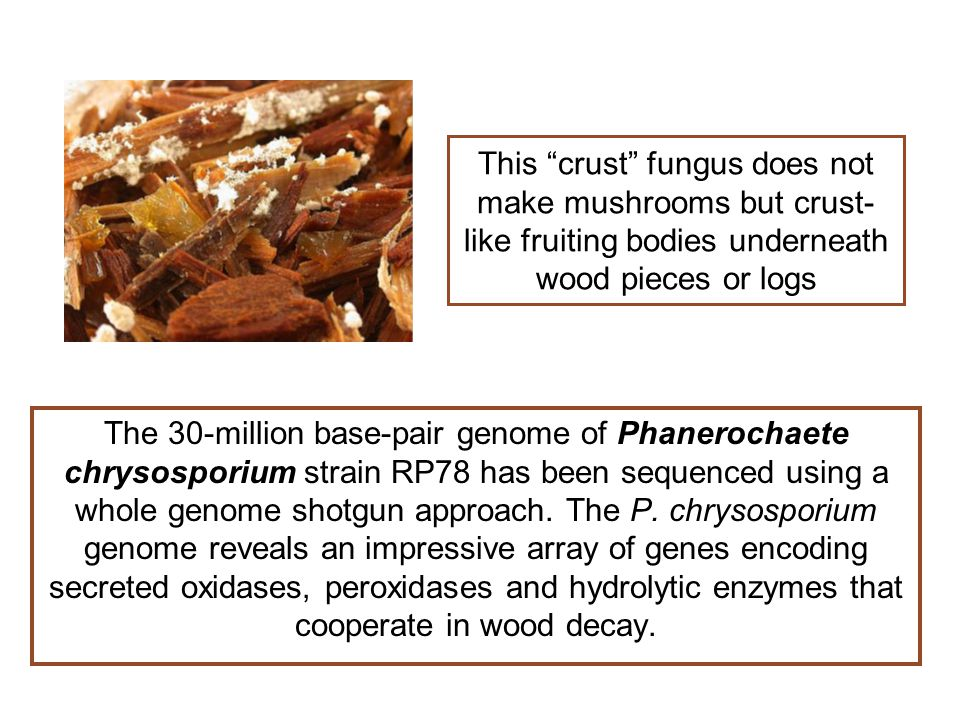 "This ""crust"" fungus does not make mushrooms but crust- like fruiting bodies underneath wood pieces or logs The 30-million base-pair genome of Phaneroc"