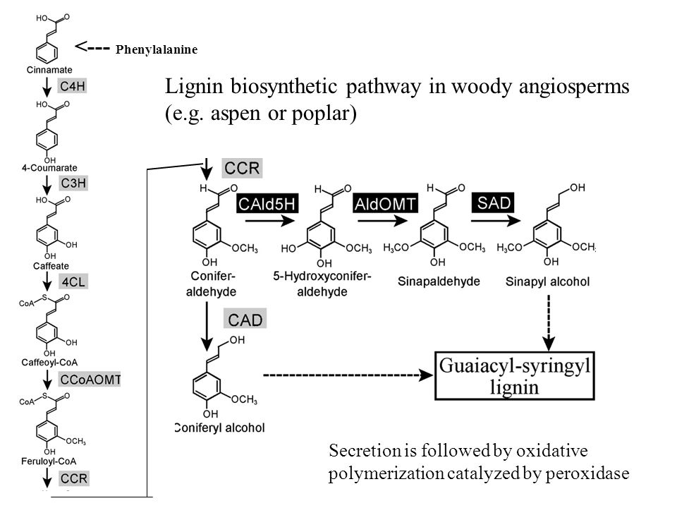 Lignin biosynthetic pathway in woody angiosperms (e.g. aspen or poplar) Secretion is followed by oxidative polymerization catalyzed by peroxidase <---