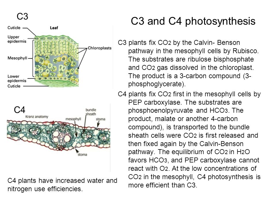 C3 and C4 photosynthesis C3 plants fix CO 2 by the Calvin- Benson pathway in the mesophyll cells by Rubisco.