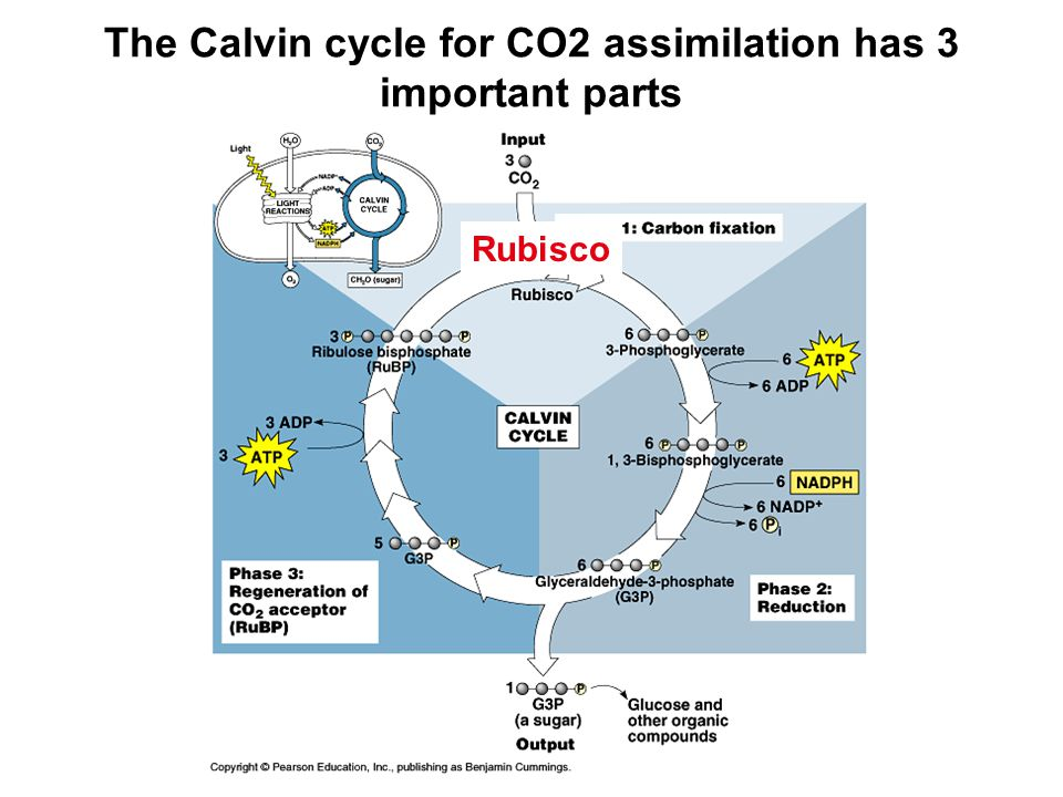 Rubisco can catalyze carboxylation and oxygenation of ribulose bisphosphate (RuBP) Which reaction takes place depends on the concentration of the two gasses at the site of the reaction in the chloroplast.