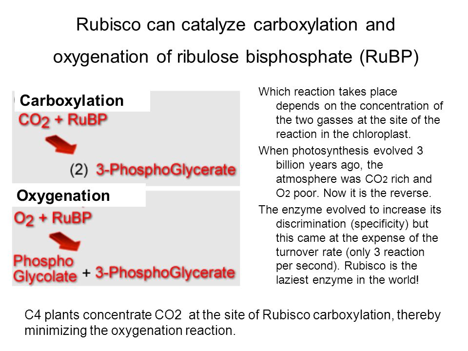 In C3 plants, photorespiration recycles the C in PO 4 -glycolate produced in the oxygenation reaction of Rubisco to glycerate with the release of 1/4 of the C as CO 2.