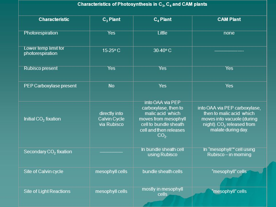 Characteristics of Photosynthesis in C 3, C 4 and CAM plants CharacteristicC 3 PlantC 4 PlantCAM Plant PhotorespirationYesLittlenone Lower temp limit