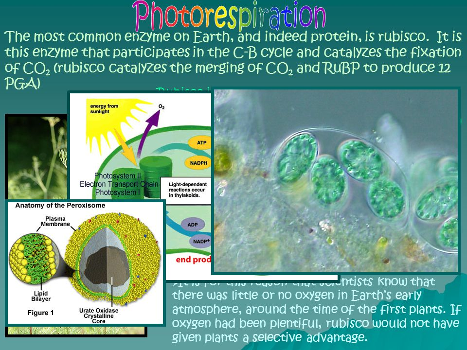 """Rubisco isn't a particularly efficient molecule, because it also wants to """"fix"""" oxygen. When oxygen is present, it becomes """"fixed"""", more readily than"""