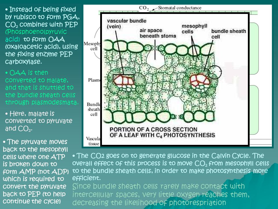Instead of being fixed by rubisco to form PGA, CO 2 combines with PEP (Phosphoenolpyruvic acid) to form OAA (oxaloacetic acid), using the fixing enzym