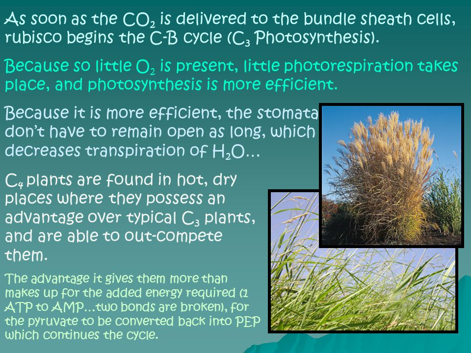 As soon as the CO 2 is delivered to the bundle sheath cells, rubisco begins the C-B cycle (C 3 Photosynthesis).