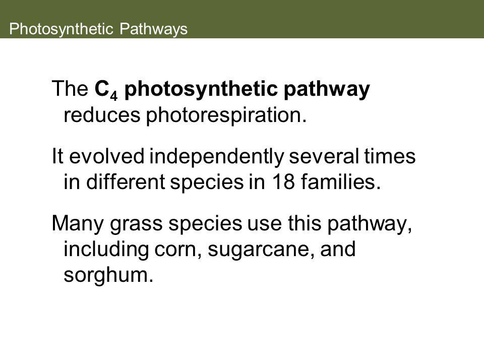 Photosynthetic Pathways The C 4 photosynthetic pathway reduces photorespiration.