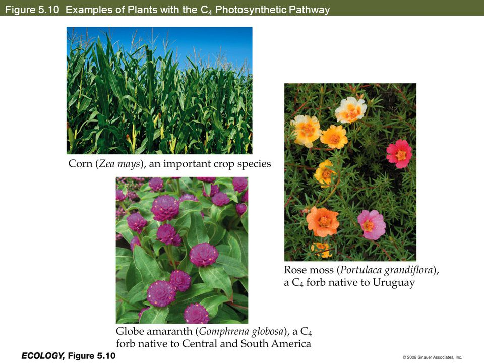 Figure 5.10 Examples of Plants with the C 4 Photosynthetic Pathway