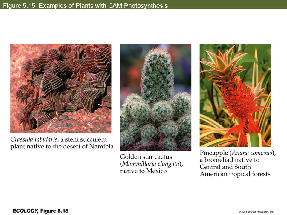 Figure 5.15 Examples of Plants with CAM Photosynthesis