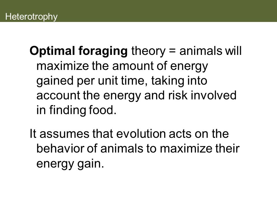 Heterotrophy Optimal foraging theory = animals will maximize the amount of energy gained per unit time, taking into account the energy and risk involved in finding food.
