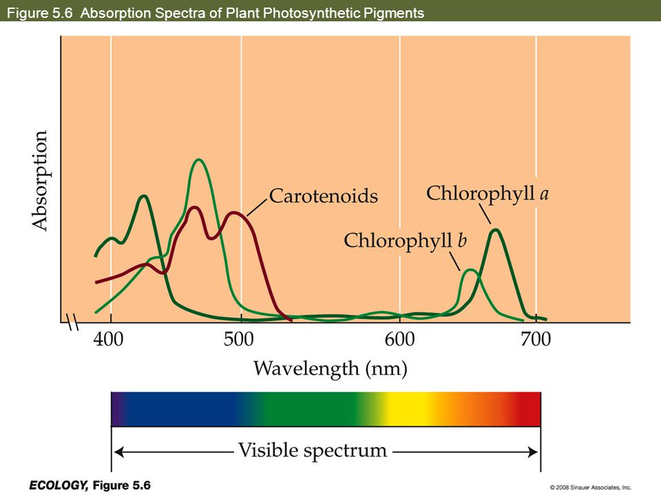Figure 5.6 Absorption Spectra of Plant Photosynthetic Pigments