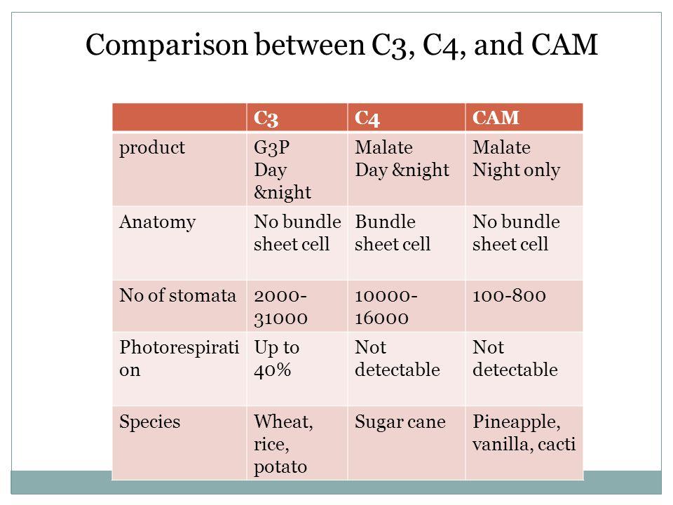 Comparison between C3, C4, and CAM C3C4CAM productG3P Day &night Malate Day &night Malate Night only AnatomyNo bundle sheet cell Bundle sheet cell No