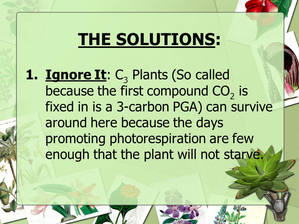 CAM Plants Water- storing plants (known as succulents) such as cacti and pineapples Open their stomata at night and close them during the day When stoma open at night CO 2 is incorporated into C4 organic acids by the enzyme PEP carboxylase These organic acids are stored in vacuoles until the morning The stoma close and the organic acids release CO 2 that enter the C 3 Calvin cycle to be fixed into carbohydrates