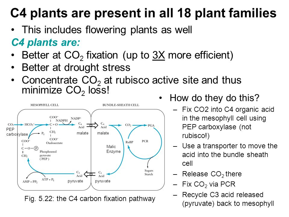 C4 plants are present in all 18 plant families This includes flowering plants as well C4 plants are: Better at CO 2 fixation (up to 3X more efficient) Better at drought stress Concentrate CO 2 at rubisco active site and thus minimize CO 2 loss.