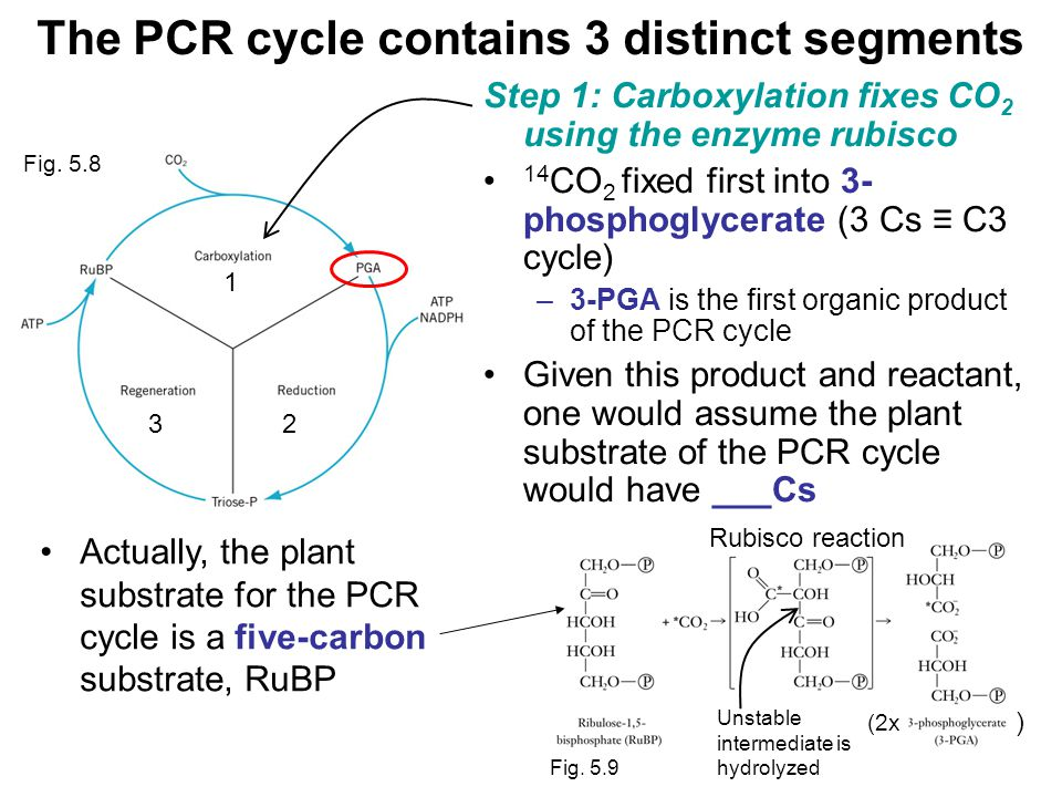 The PCR cycle contains 3 distinct segments Step 1: Carboxylation fixes CO 2 using the enzyme rubisco 14 CO 2 fixed first into 3- phosphoglycerate (3 Cs ≡ C3 cycle) –3-PGA is the first organic product of the PCR cycle Given this product and reactant, one would assume the plant substrate of the PCR cycle would have ___Cs 1 32 Actually, the plant substrate for the PCR cycle is a five-carbon substrate, RuBP Fig.