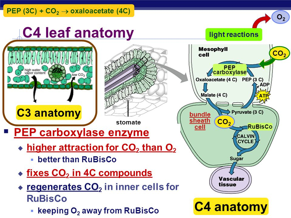 Reducing photorespiration  Separate carbon fixation from Calvin cycle  C4 plants  PHYSICALLY separate carbon fixation from Calvin cycle  different