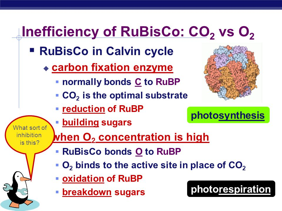 When stomates close… xylem (water) phloem (sugars) H2OH2O O2O2 CO 2 O2O2  Closed stomates lead to…  O 2 build up  from light reactions  CO 2 is de
