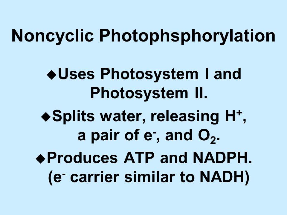 Noncyclic Photophsphorylation u Uses Photosystem I and Photosystem II.