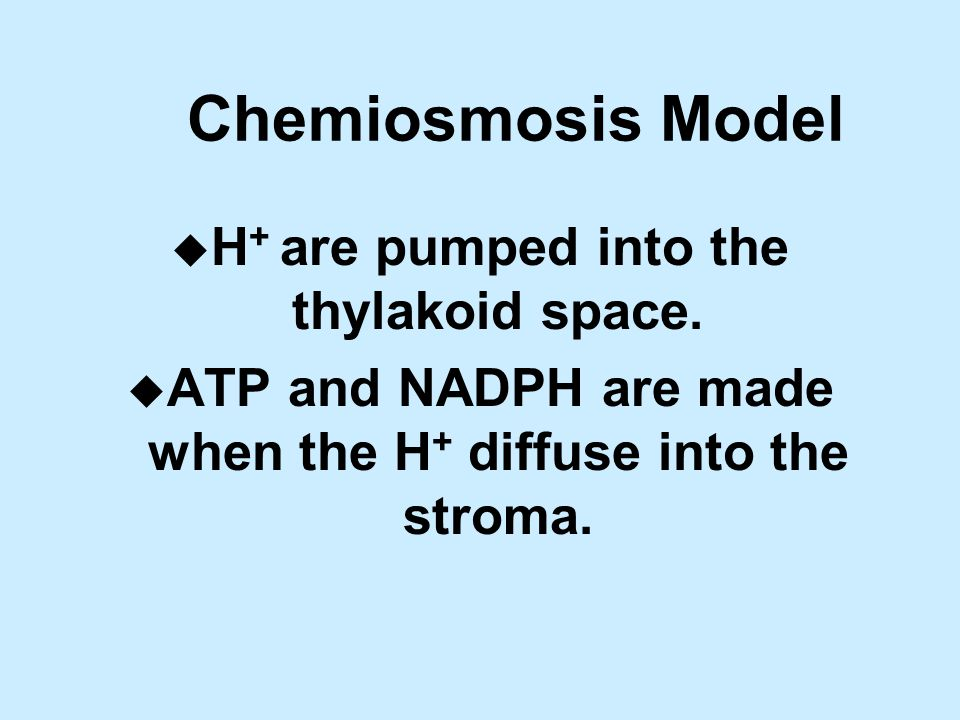 Chemiosmosis Model u H + are pumped into the thylakoid space.