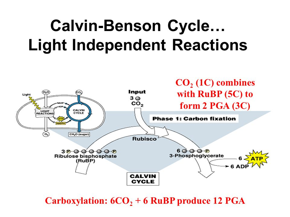 Calvin-Benson Cycle… Light Independent Reactions CO 2 (1C) combines with RuBP (5C) to form 2 PGA (3C) Carboxylation: 6CO 2 + 6 RuBP produce 12 PGA