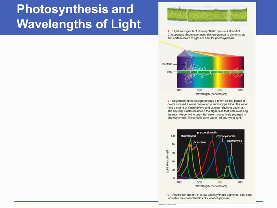 Photosynthesis and Wavelengths of Light