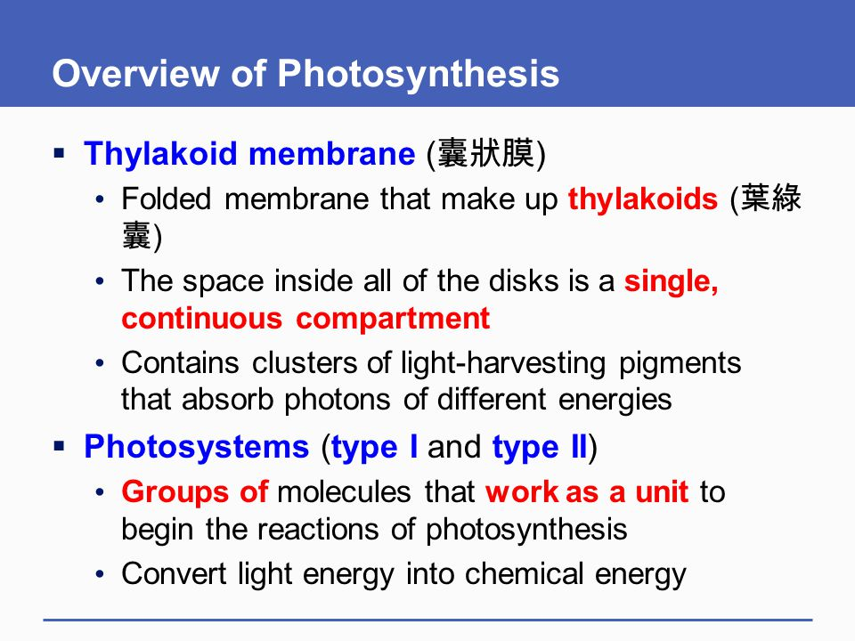 Overview of Photosynthesis  Thylakoid membrane ( 囊狀膜 ) Folded membrane that make up thylakoids ( 葉綠 囊 ) The space inside all of the disks is a single
