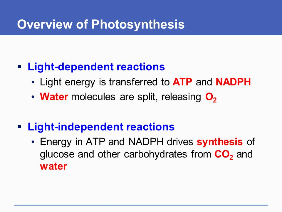 Overview of Photosynthesis  Light-dependent reactions Light energy is transferred to ATP and NADPH Water molecules are split, releasing O 2  Light-i