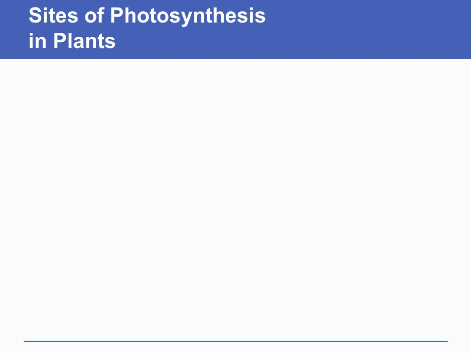 Sites of Photosynthesis in Plants