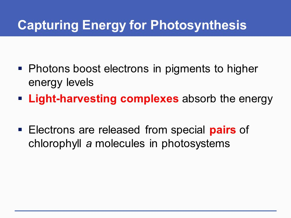 Capturing Energy for Photosynthesis  Photons boost electrons in pigments to higher energy levels  Light-harvesting complexes absorb the energy  Ele