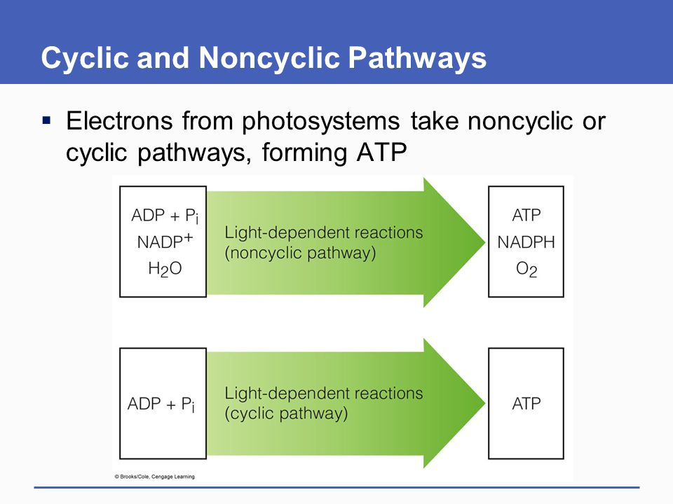 Cyclic and Noncyclic Pathways  Electrons from photosystems take noncyclic or cyclic pathways, forming ATP