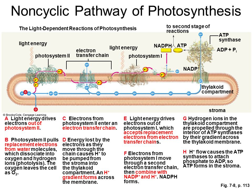 Fig. 7-8, p. 113 to second stage of reactions The Light-Dependent Reactions of Photosynthesis ATP synthase light energy NADPH ATP ADP + P i photosyste