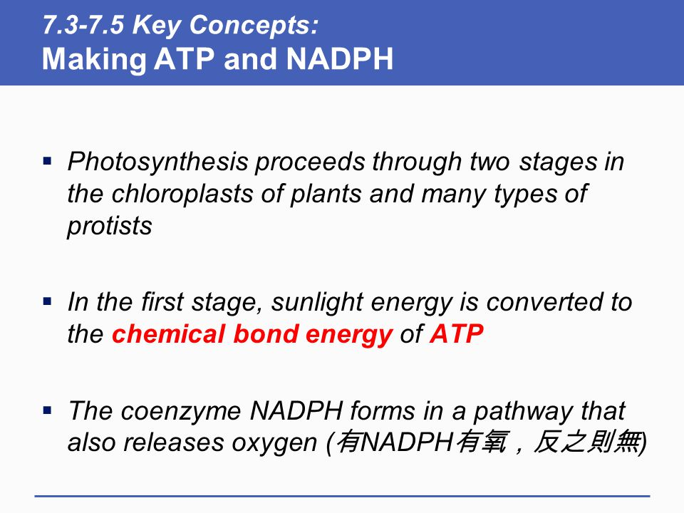 7.3-7.5 Key Concepts: Making ATP and NADPH  Photosynthesis proceeds through two stages in the chloroplasts of plants and many types of protists  In