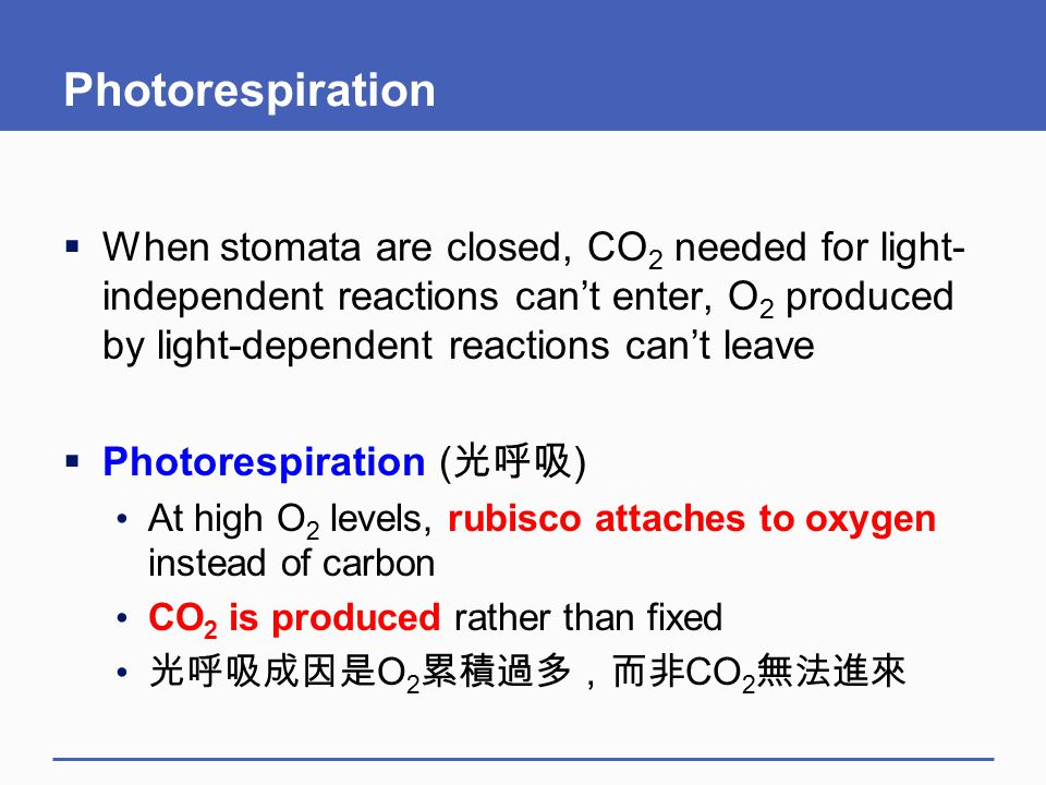 Photorespiration  When stomata are closed, CO 2 needed for light- independent reactions can't enter, O 2 produced by light-dependent reactions can't