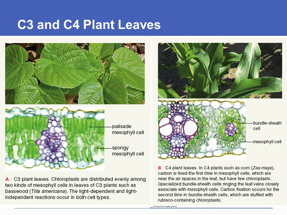 C3 and C4 Plant Leaves
