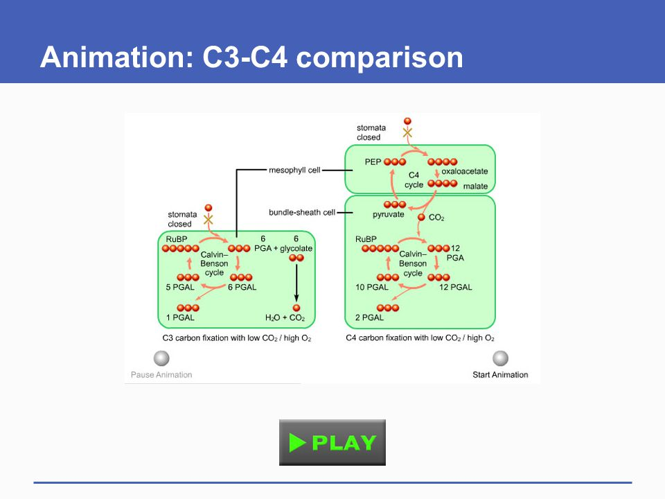 Animation: C3-C4 comparison