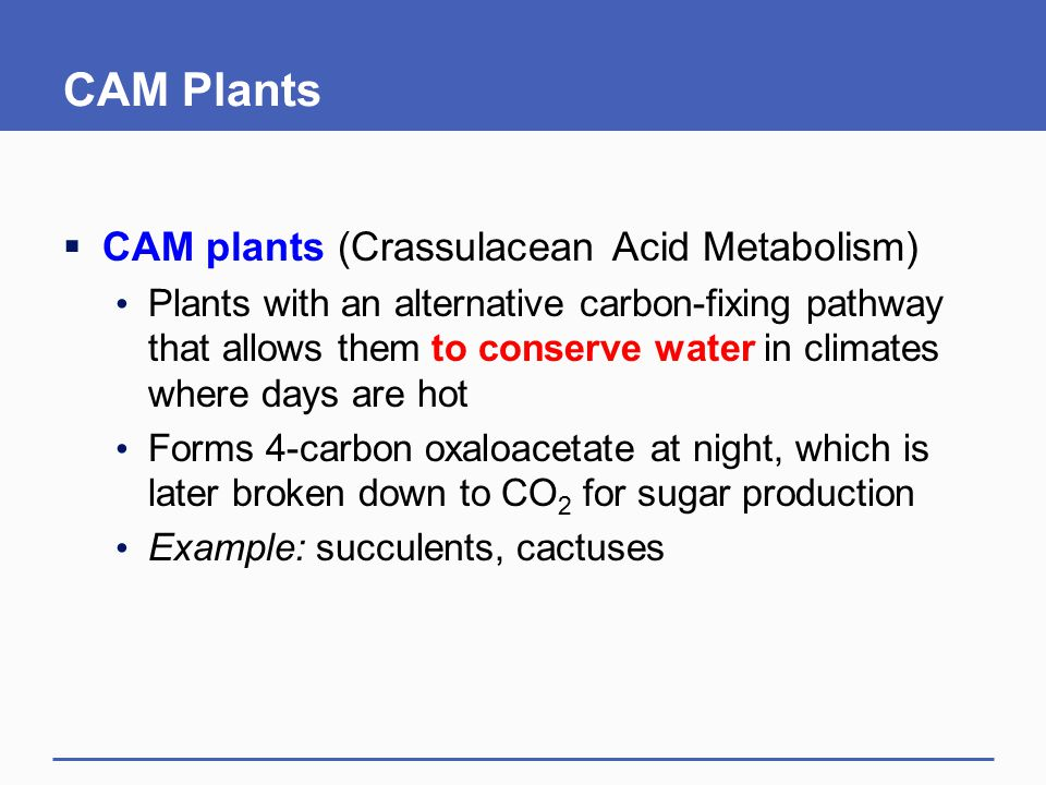 CAM Plants  CAM plants (Crassulacean Acid Metabolism) Plants with an alternative carbon-fixing pathway that allows them to conserve water in climates