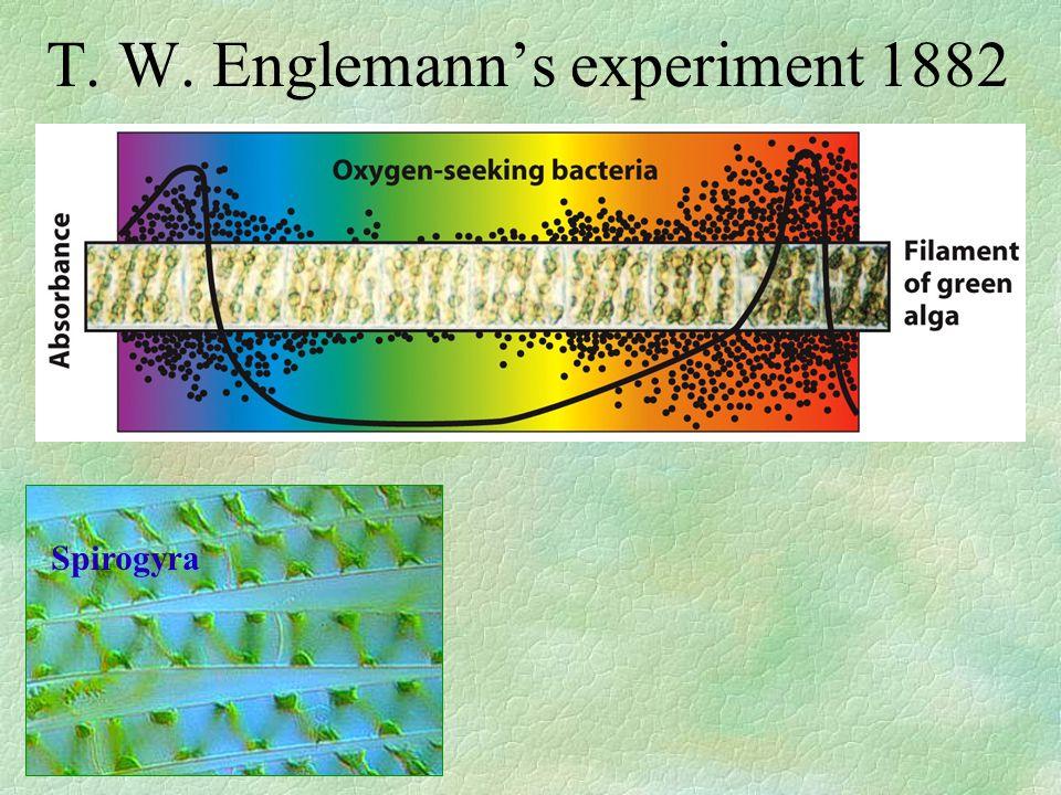 T. W. Englemann's experiment 1882 Spirogyra
