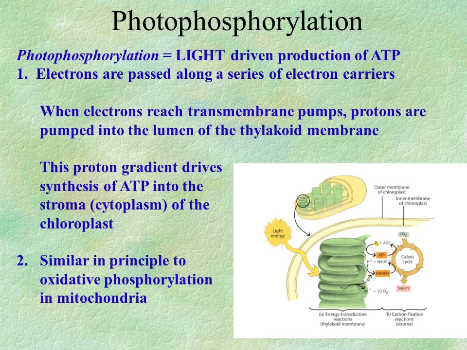 Photophosphorylation = LIGHT driven production of ATP 1.