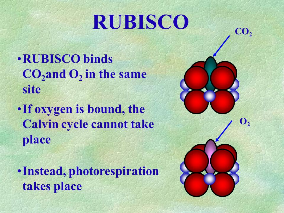 RUBISCO RUBISCO binds CO 2 and O 2 in the same site O2O2 CO 2 If oxygen is bound, the Calvin cycle cannot take place Instead, photorespiration takes place